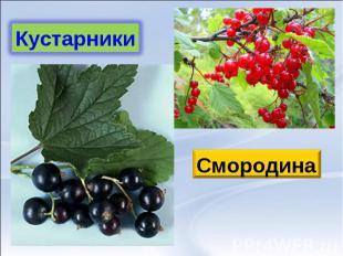 КустарникиСмородина