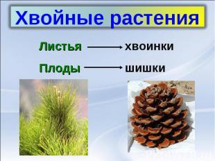 Хвойные растенияЛистьяхвоинкиПлодышишки