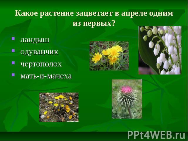 Какое растение зацветает в апреле одним из первых? ландыш одуванчик чертополох мать-и-мачеха