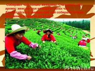 Собирают чай только женщины. Считалось, что аромат женских рук не портит запах ч