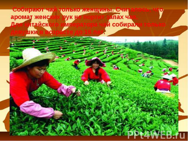 Собирают чай только женщины. Считалось, что аромат женских рук не портит запах чая. Для китайского императора чай собирали только девушки в возрасте до 16 лет.