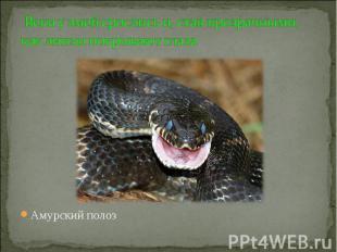 Веки у змей срослись и, став прозрачными, как линзы покрывают глаза Амурский пол