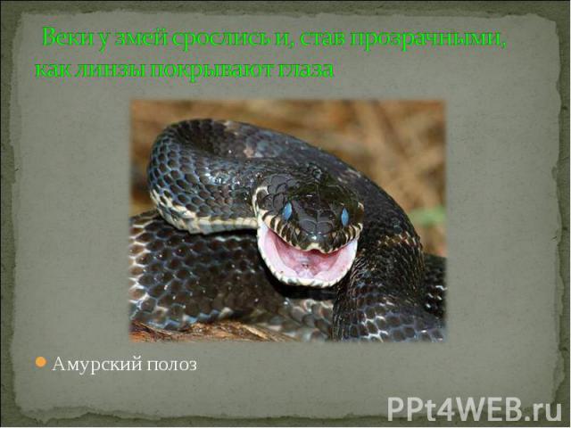 Веки у змей срослись и, став прозрачными, как линзы покрывают глаза Амурский полоз
