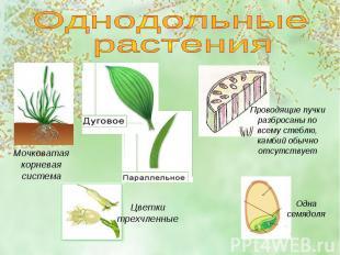 Однодольные растенияМочковатая корневая системаПроводящие пучки разбросаны по вс