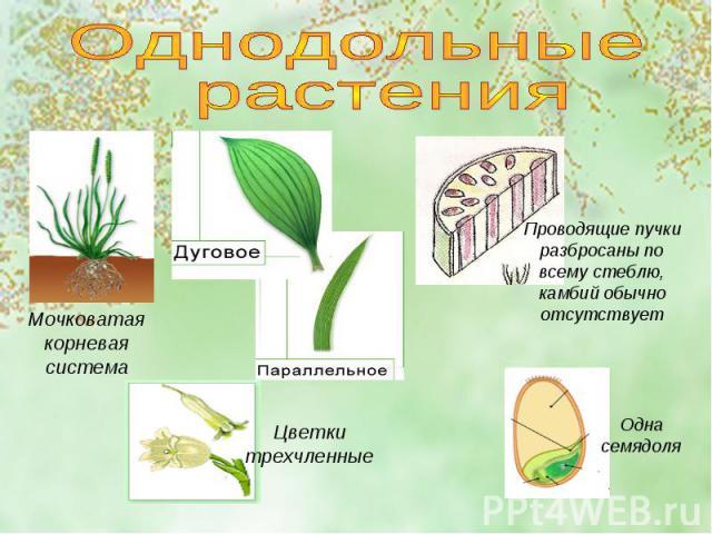 Однодольные растенияМочковатая корневая системаПроводящие пучки разбросаны по всему стеблю, камбий обычно отсутствуетЦветки трехчленныеОдна семядоля