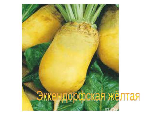Эккендорфская жёлтая