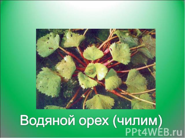 Водяной орех (чилим)