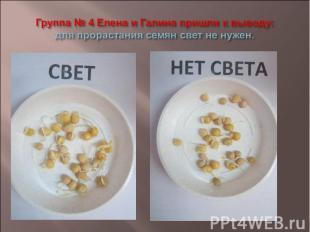 Группа № 4 Елена и Галина пришли к выводу: для прорастания семян свет не нужен.