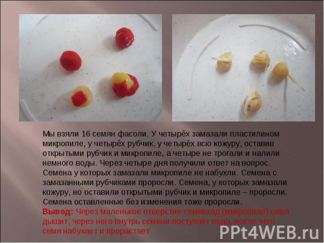 Мы взяли 16 семян фасоли. У четырёх замазали пластилином микропиле, у четырёх рубчик, у четырёх всю кожуру, оставив открытыми рубчик и микропиле, а четыре не трогали и налили немного воды. Через четыре дня получили ответ на вопрос. Семена у которых …