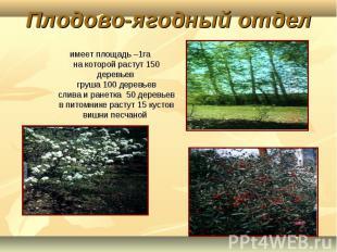 Плодово-ягодный отдел имеет площадь –1га на которой растут 150 деревьев груша 10