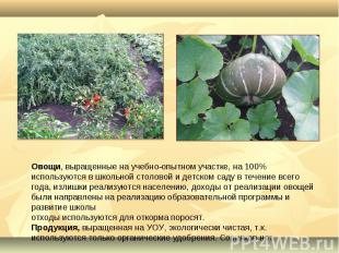 Овощи, выращенные на учебно-опытном участке, на 100% используются в школьной сто