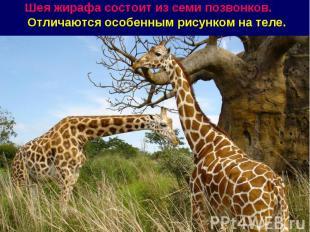 Шея жирафа состоит из семи позвонков. Отличаются особенным рисунком на теле.
