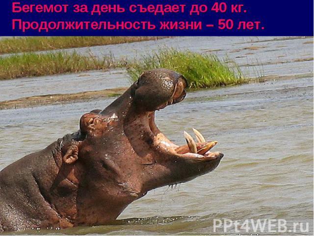 Бегемот за день съедает до 40 кг. Продолжительность жизни – 50 лет. .