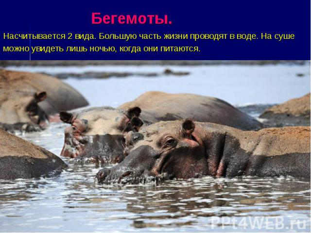 Бегемоты. Насчитывается 2 вида. Большую часть жизни проводят в воде. На суше можно увидеть лишь ночью, когда они питаются.