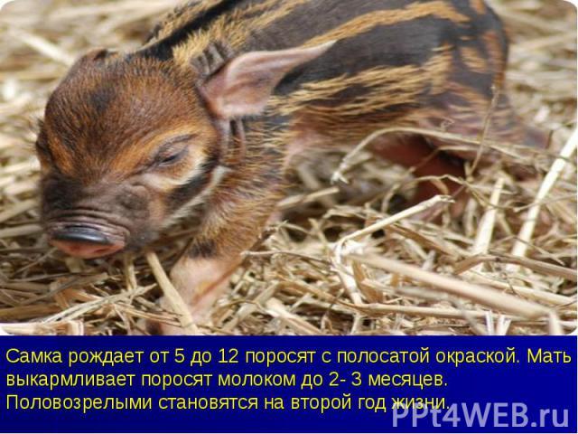 Самка рождает от 5 до 12 поросят с полосатой окраской. Мать выкармливает поросят молоком до 2- 3 месяцев. Половозрелыми становятся на второй год жизни.