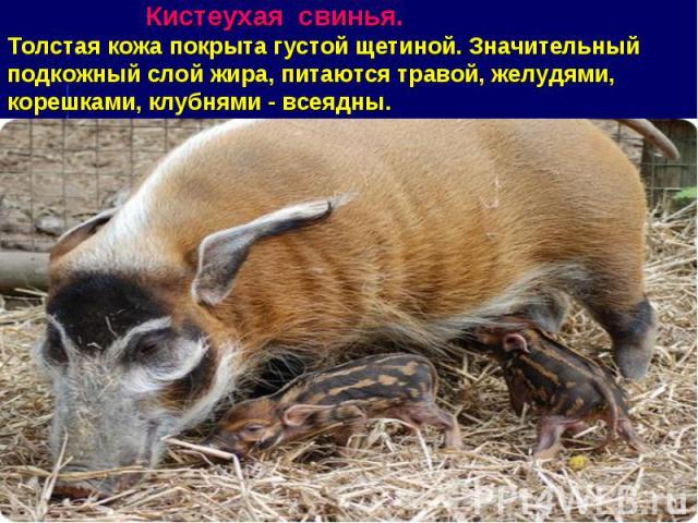 Кистеухая свинья. Толстая кожа покрыта густой щетиной. Значительный подкожный слой жира, питаются травой, желудями, корешками, клубнями - всеядны.