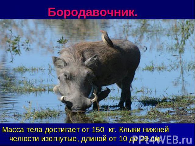 Бородавочник. Масса тела достигает от 150 кг. Клыки нижней челюсти изогнутые, длиной от 10 до 20 см.