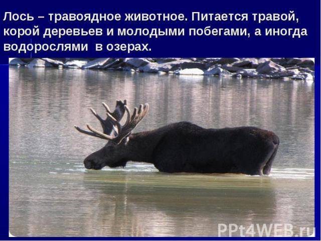 Лось – травоядное животное. Питается травой, корой деревьев и молодыми побегами, а иногда водорослями в озерах.