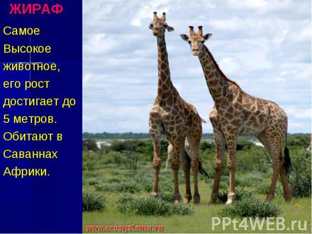 ЖИРАФ Самое Высокое животное, его рост достигает до 5 метров. Обитают в Саваннах Африки.